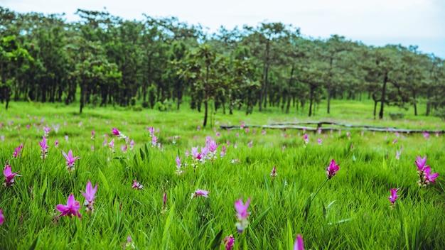 Mooie curcuma sessilis roze bloemen bloeien in het regenwoud, in pa hin ngam national park chaiyaphum province, thailand