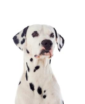 Mooie dalmatische hond