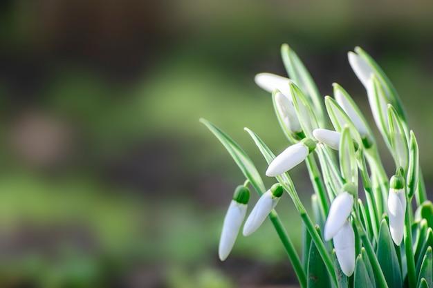 Mooie de lentesneeuwklokjes op een vage achtergrond, exemplaarruimte