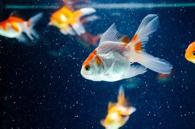 Mooie de vissen donkere achtergrond van de goudvisaard