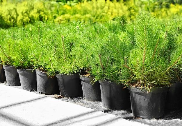Mooie dennenbomen voor kerstverkoop op de markt