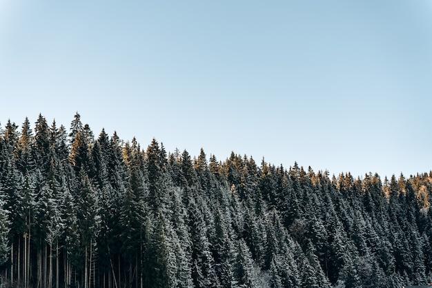 Mooie dennenboom met een humeurig, mistig dennenbos op de achtergrond. beboste berghelling met blauwe lucht op de achtergrond. landschapsconcept