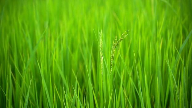 Mooie dichte omhooggaand van de verse groene achtergrond, de landbouw en het natuurlijke concept van de padieveldaard