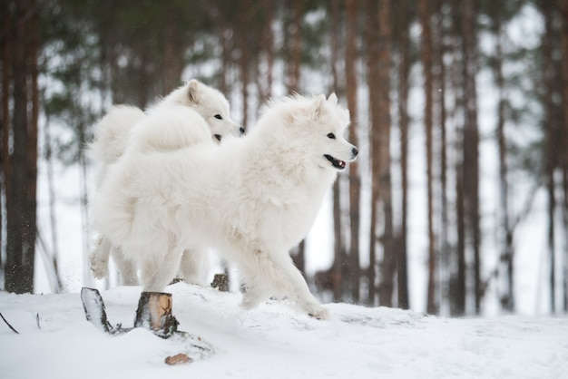 Mooie donzige twee samojeed witte honden is in het winterbos
