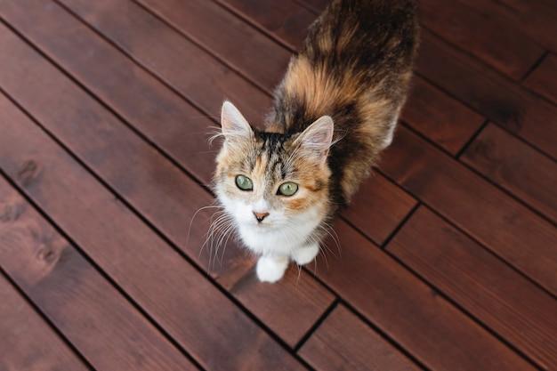 Mooie driekleurige kat die op een houten terras loopt en naar de camera kijkt