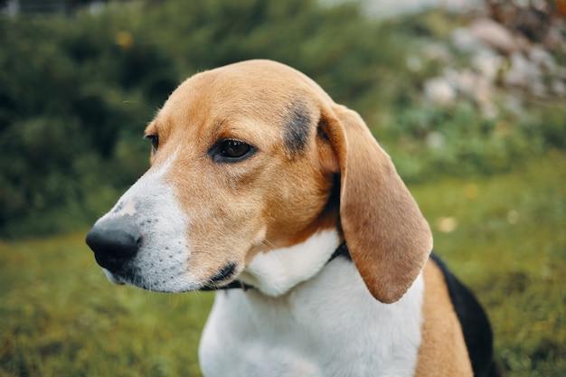 Mooie driekleurige pup op weide of tuin. zomer portret van schattige beagle hond buiten spelen.