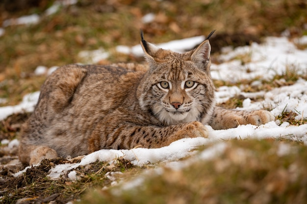 Mooie en bedreigde euraziatische lynx in de natuurhabitat lynx lynx