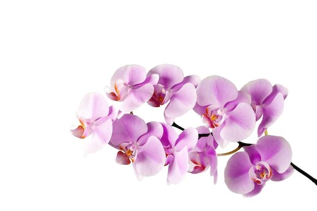 Mooie en delicate orchideebloemen. roze orchidee bloemen geïsoleerd op een witte achtergrond.