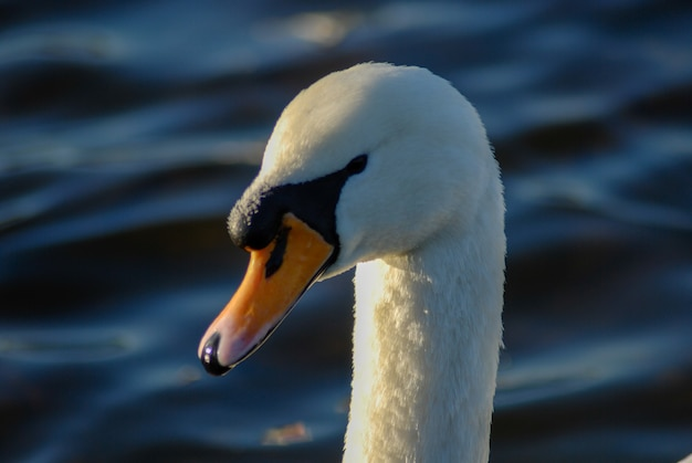 Mooie en elegante zwaan op het water