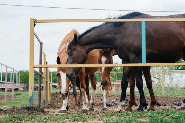 Mooie en gezonde paarden voeren op de ranch. veehouderij en paardenfokkerij.