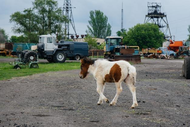 Mooie en jonge pony wandelen op de ranch. veehouderij en paardenfokkerij.