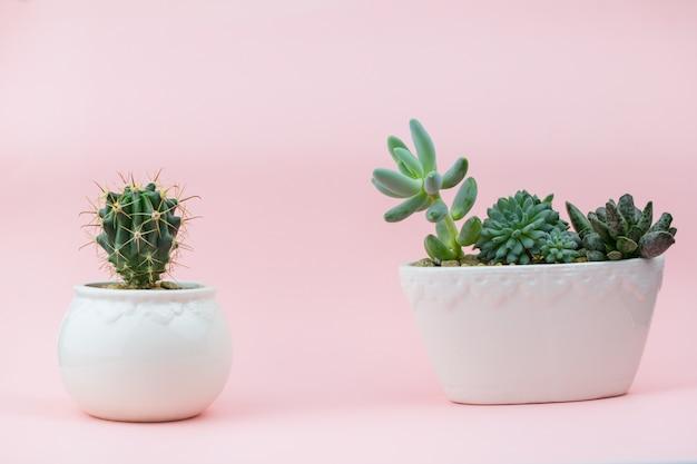 Mooie en jonge vetplanten op een roze achtergrond