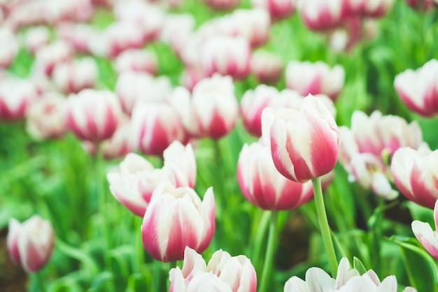 Mooie en kleurrijke tulpen in de tuin