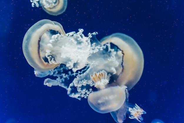 Mooie en mooie kwallen die in het blauwe water drijven.