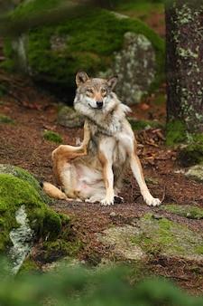 Mooie en ongrijpbare euraziatische wolf in de kleurrijke zomer