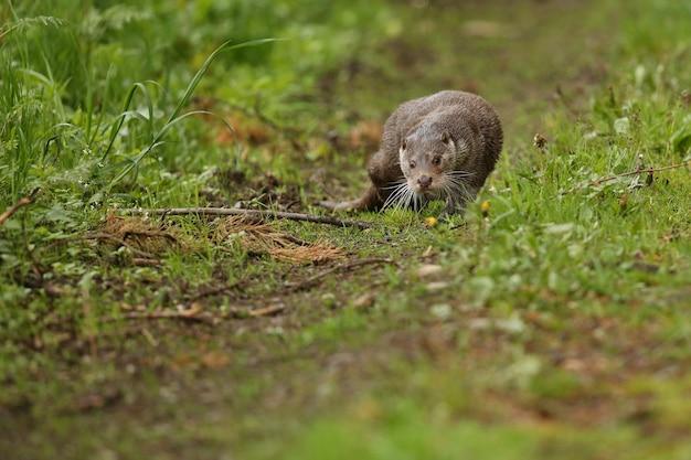 Mooie en speelse rivierotter in de natuurhabitat in tsjechië lutra lutra