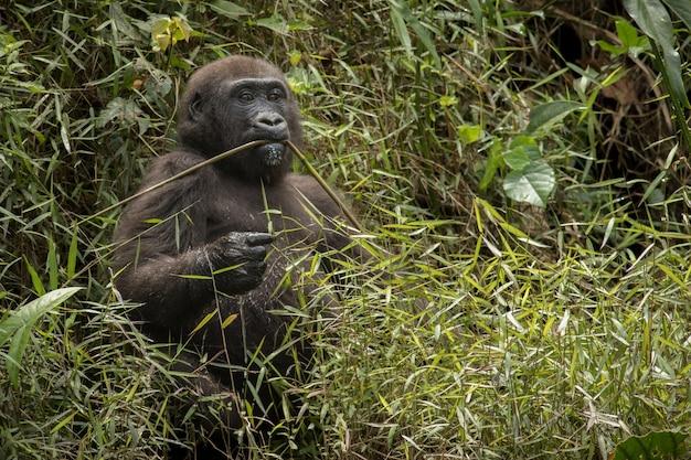 Mooie en wilde laaglandgorilla in de natuurhabitat in afrika