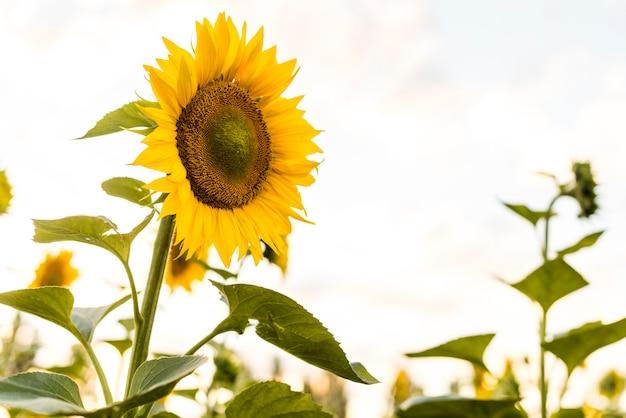 Mooie enige zonnebloem dichte omhooggaand