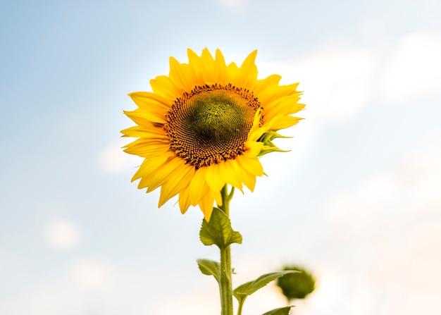 Mooie enige zonnebloemclose-up