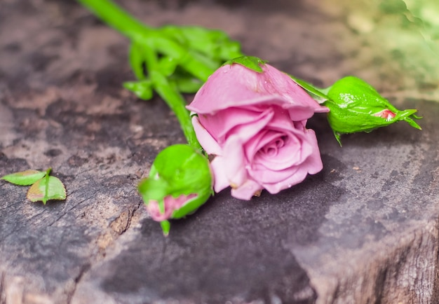 Mooie enkele roze roos geïsoleerd op houten achtergrond. pink rose bloem met regendruppels op achtergrond roze rozen bloemen. natuur.