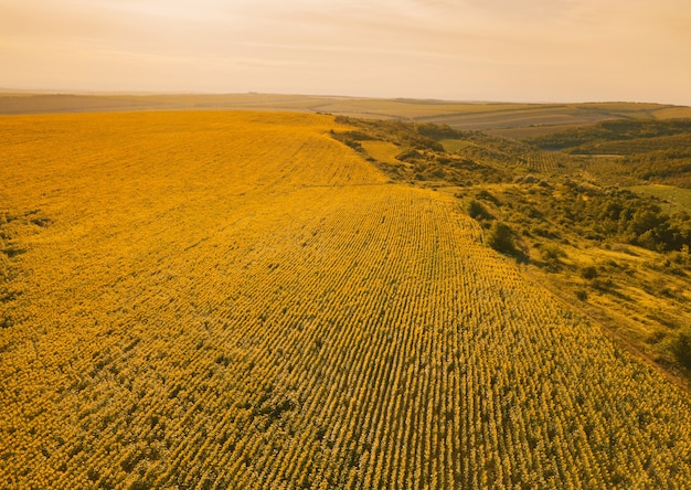 Mooie enorme zonnebloem plantage op een veld van bovenaf