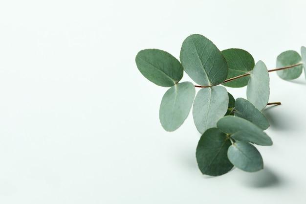 Mooie eucalyptus plant twijgen op witte achtergrond