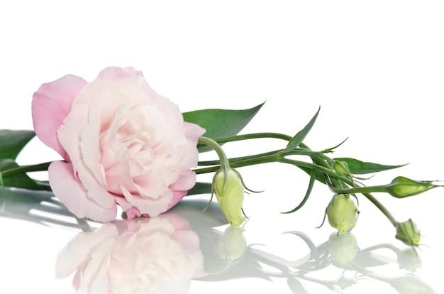 Mooie eustoma bloem met bladeren en knoppen op wit