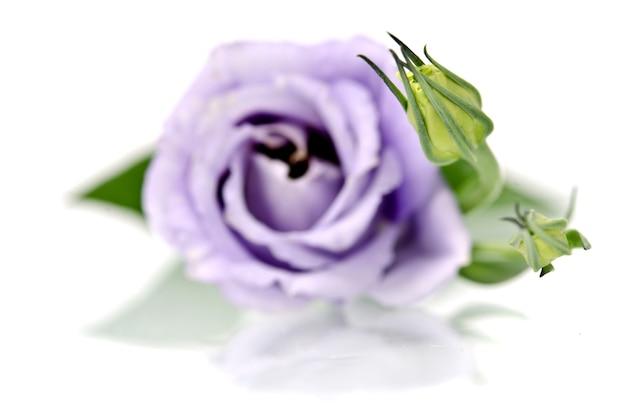 Mooie eustoma-bloem op wit