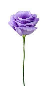 Mooie eustoma-bloem