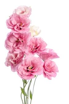 Mooie eustoma bloemen