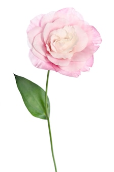 Mooie eustomabloem met blad op wit