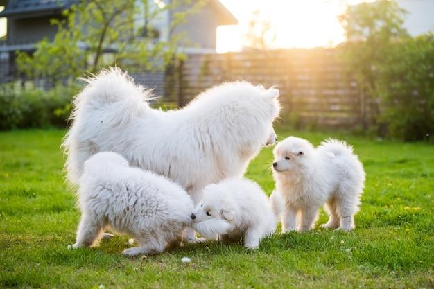 Mooie familie samojeed-hond met puppy's