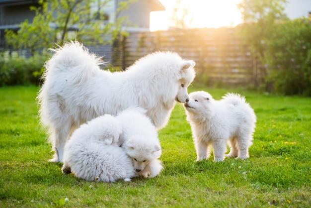 Mooie familie vrouwelijke samojeed hond met puppy's lopen in de tuin op het groene gras