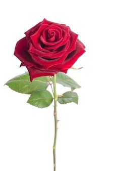 Mooie fluwelen roos geïsoleerd op wit