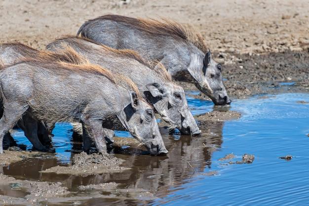 Mooie foto van de afrikaanse gewone wrattenzwijnen die drinkwater op een met gras begroeide vlakte zagen