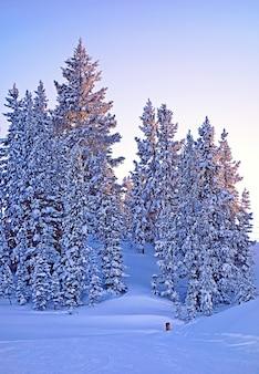 Mooie foto van veel sparren in een bos bedekt met sneeuw