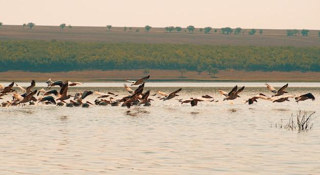 Mooie foto van vliegende pelikanen boven meer in oost-europa.