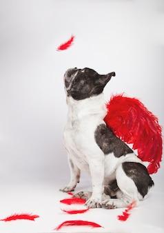 Mooie franse buldogzitting in profiel bij camera het letten op als een veer op witte achtergrond met karmozijnrode rode veervleugels op de rug en veren ter plaatse valt.