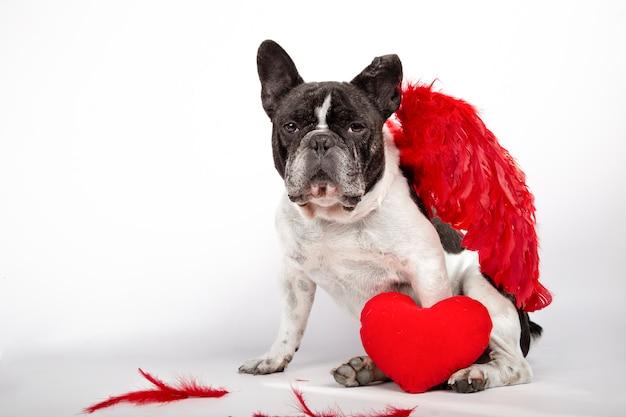 Mooie franse buldogzitting op witte achtergrond met karmozijnrode rode veervleugels op de rug, veren op de vloer en een rood hart.