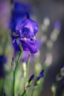 Mooie frisse paarse irisknop focus op bloem
