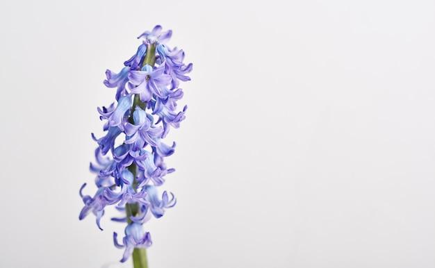 Mooie geïsoleerde hyacintbloem