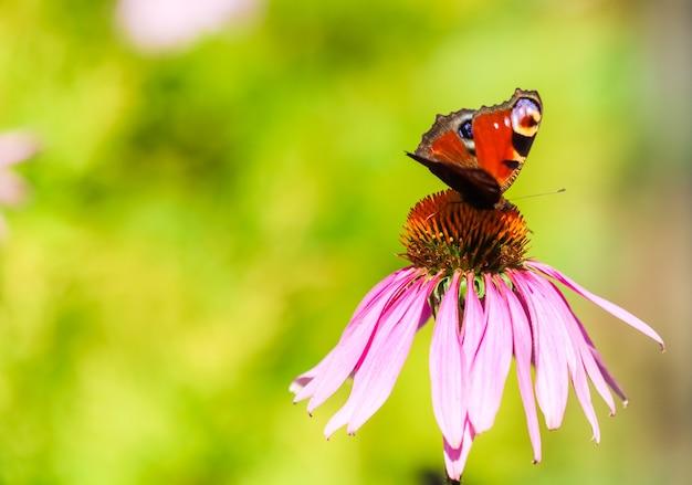 Mooie gekleurde europese pauwvlinder op paarse bloemechinacea in zonnige tuin