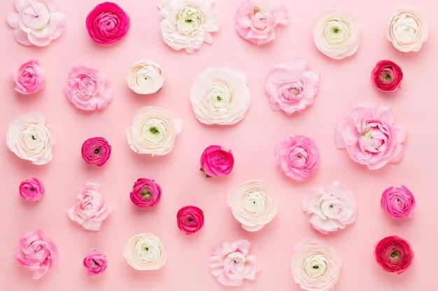 Mooie gekleurde ranonkelbloemen op een roze