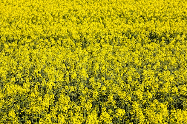 Mooie gele aangename en geurige koolzaadbloemen in het voorjaar, prachtige natuur en aangename aroma's uit het veld met koolzaad, het veld van de landbouw
