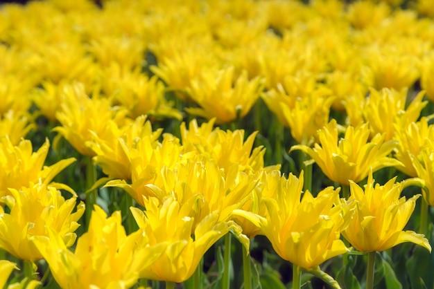 Mooie gele bloemenplantage. commercieel kweken in botanische tuin