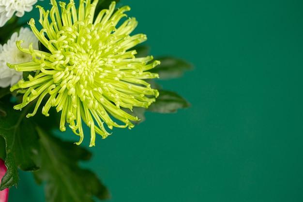 Mooie gele chrysant op een groene close-up als achtergrond.