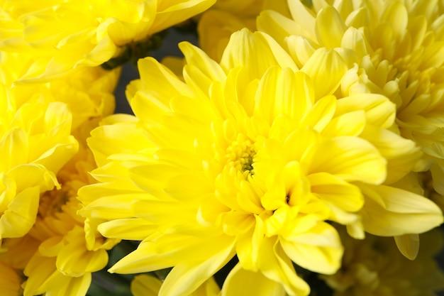 Mooie gele chrysanten in zijn geheel
