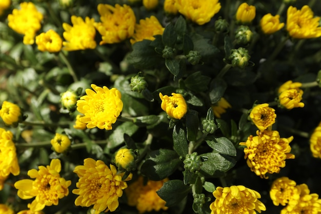 Mooie gele chrysanten met groene bladeren