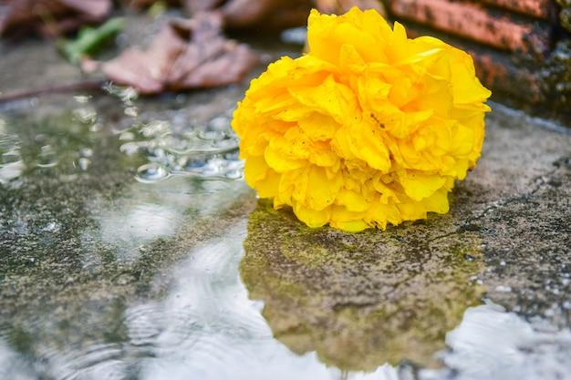 Mooie gele cochlospermum-regiumbloem op grond.