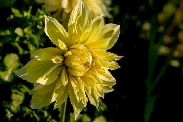 Mooie gele dahliabloem en waterdaling in tuin bloeiende tuin. in een bloembed een aanzienlijke hoeveelheid bloemendahlia's met bloemblaadjes. gele dahlia, madeliefje. herfst bloem. kopie ruimte